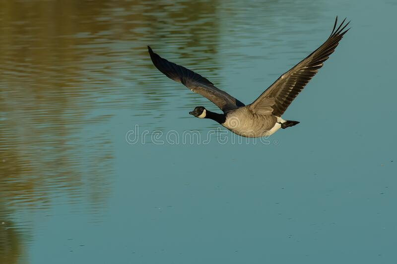 Canada Goose - Branta canadensis. A Canada Goose is flying low over the water. Rotary Park, Ajax, Ontario, Canada stock photography
