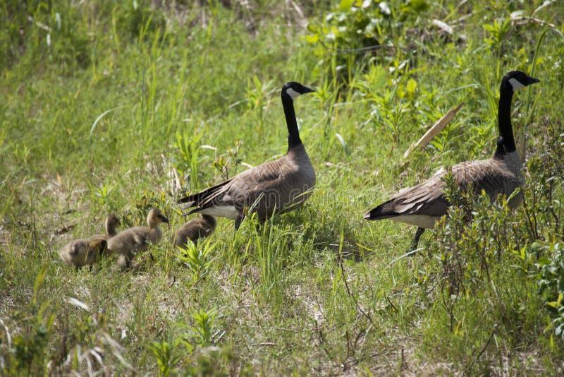 Download Canada Goose (Branta Canadensis) Stock Photo - Image of robin, birds: 56257106