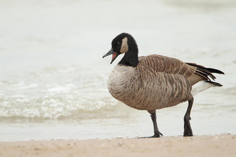 Download Canada Goose Calling On A Beach Stock Photo - Image: 27620298