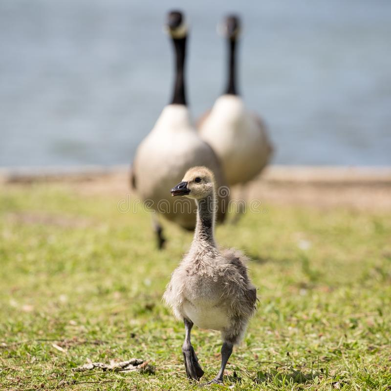 Canada Goose chick and parents stock photo