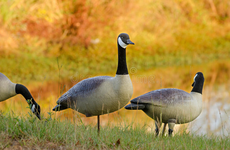 Canada Goose Decoys. Plastic Canada Goose Decoys for goose hunting royalty free stock images