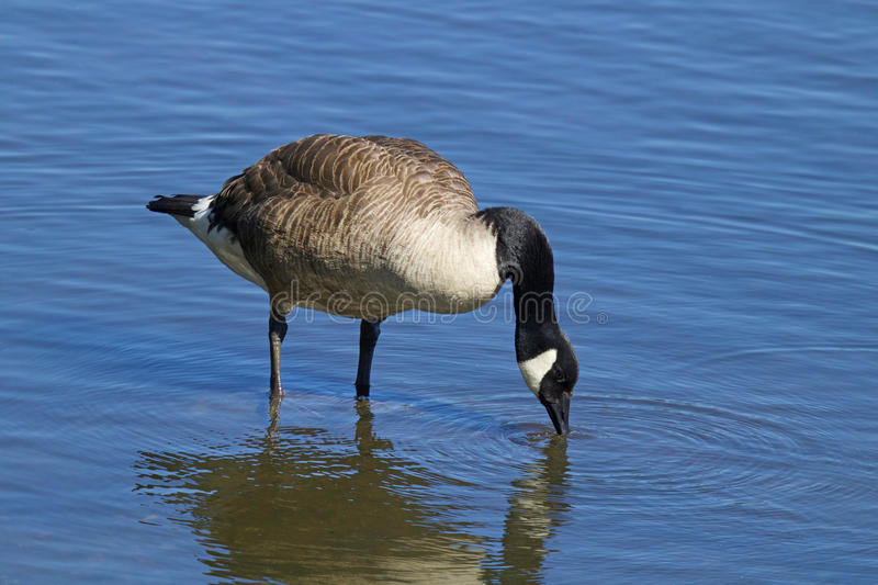 Canada Goose Drinking royalty free stock images