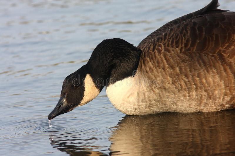 Download Canada Goose In Evening Light Stock Photo - Image: 24613462