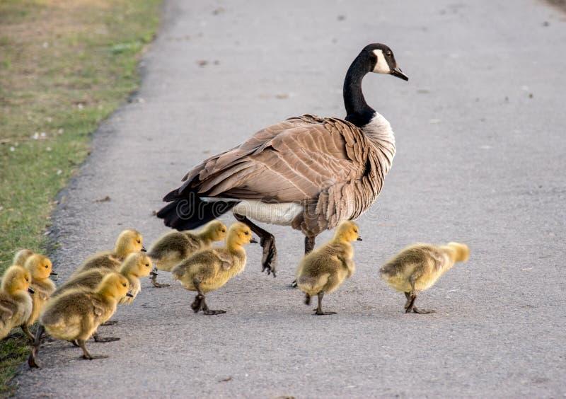 Canada goose Family stock image