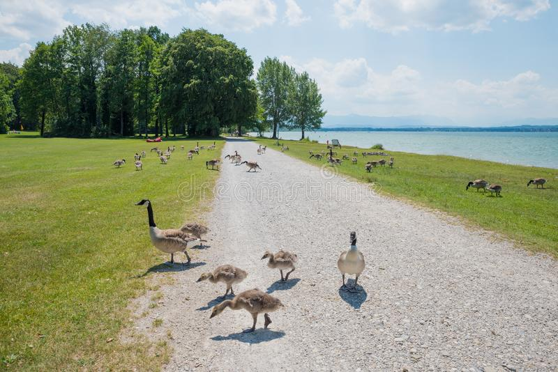 Canada goose family crossing the pedestrian walkway at lakeside royalty free stock image