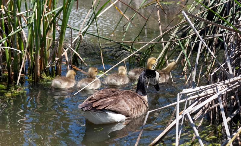 Canada goose family exploring the reeds and cat-tails stock images