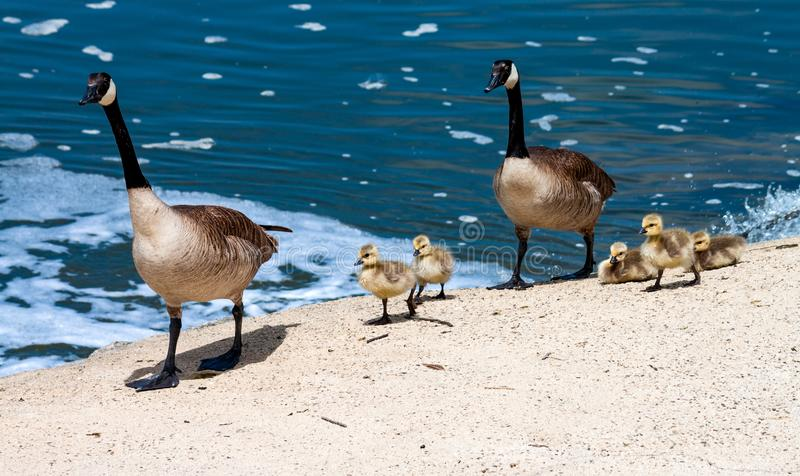 Canada goose family taking a stroll by the bay royalty free stock photos
