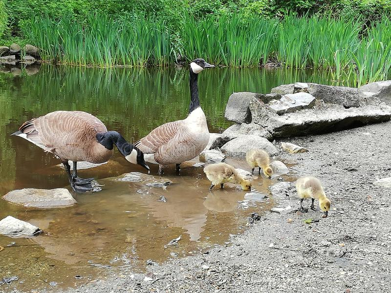 Canada Goose Family at Stanley Park royalty free stock image