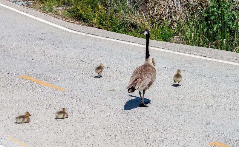 Canada goose family crossing the road 2 goslings decide to stop and rest royalty free stock image