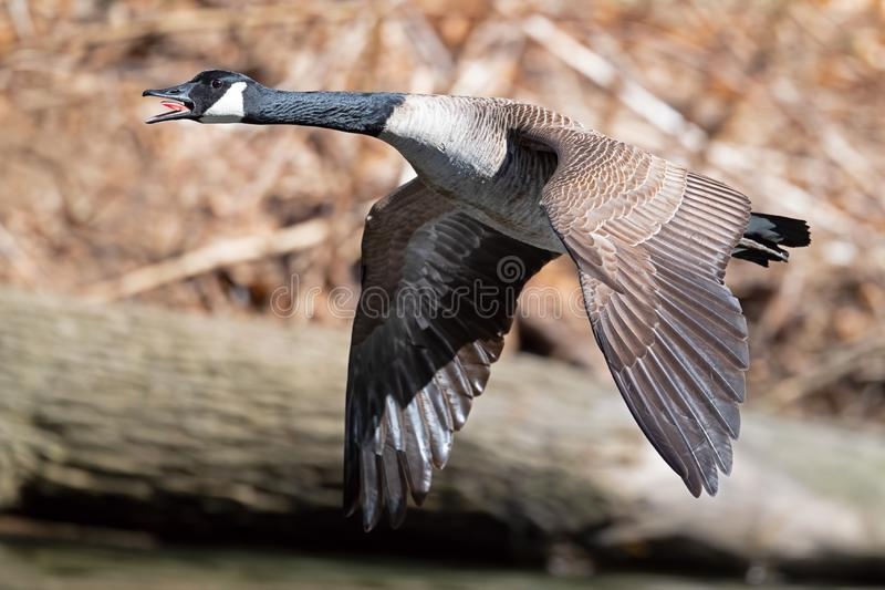 A Canada Goose in Flight royalty free stock photos