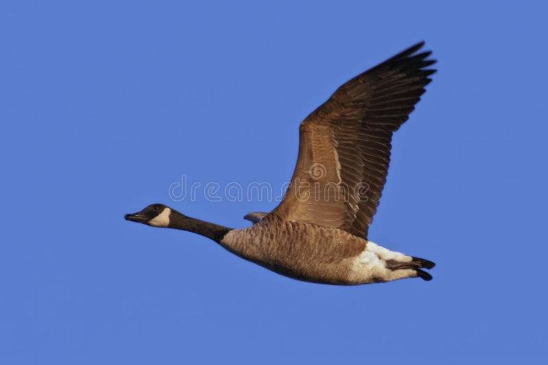 Download Canada Goose in Flight stock photo. Image of avian, animal - 22460836
