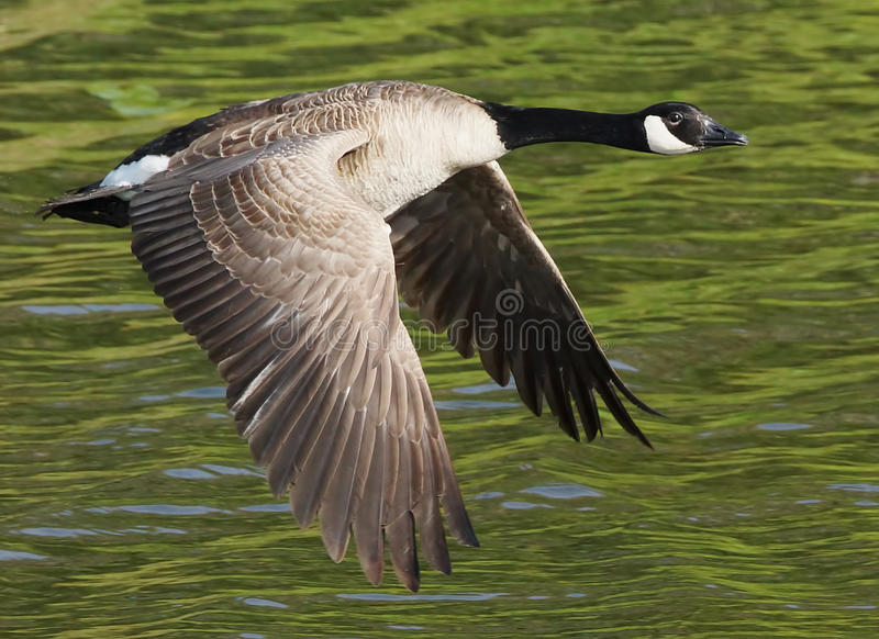 Canada Goose In Flight royalty free stock photos