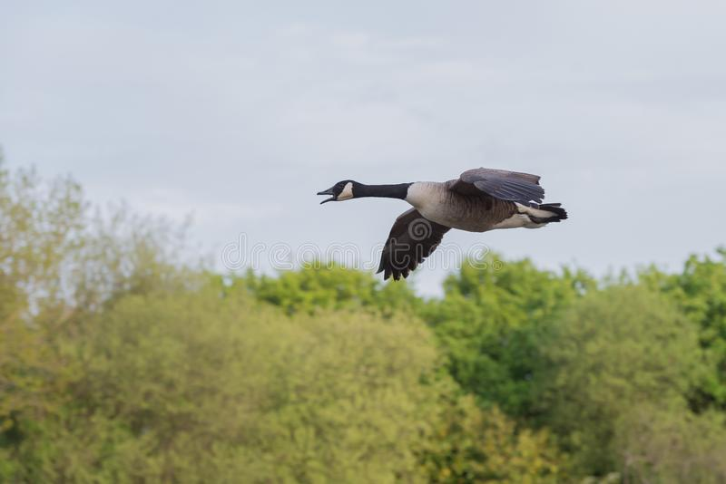 Canada goose in flight over Ifield Mill pond royalty free stock photography