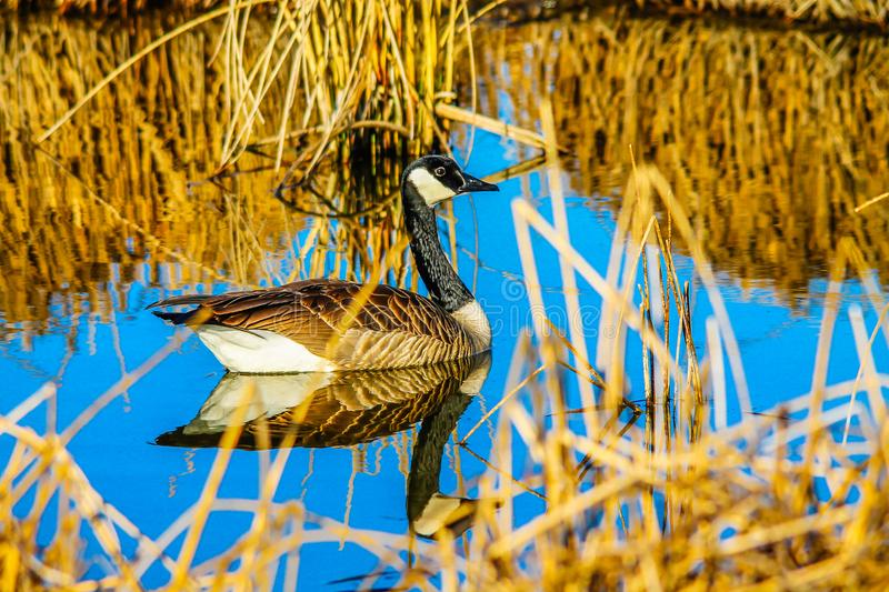Canada Goose, Frank Lake, Alberta, Canada. Canada goose floats leisurely on the water as it passes through a grassy area stock photography