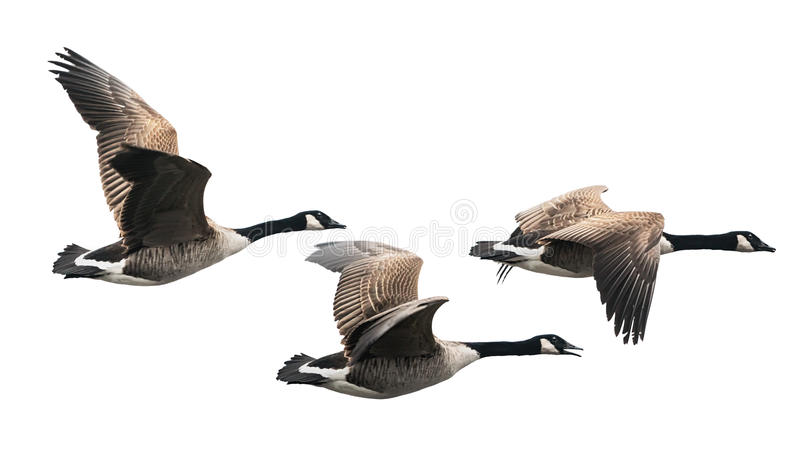 Canada Goose flying in group stock photos