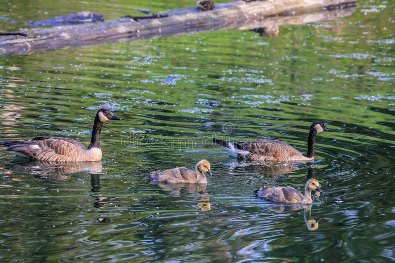 Canada Goose, Frank Lake, Alberta, Canada. Geese and goslings take a paddle on the water as a family stock photo