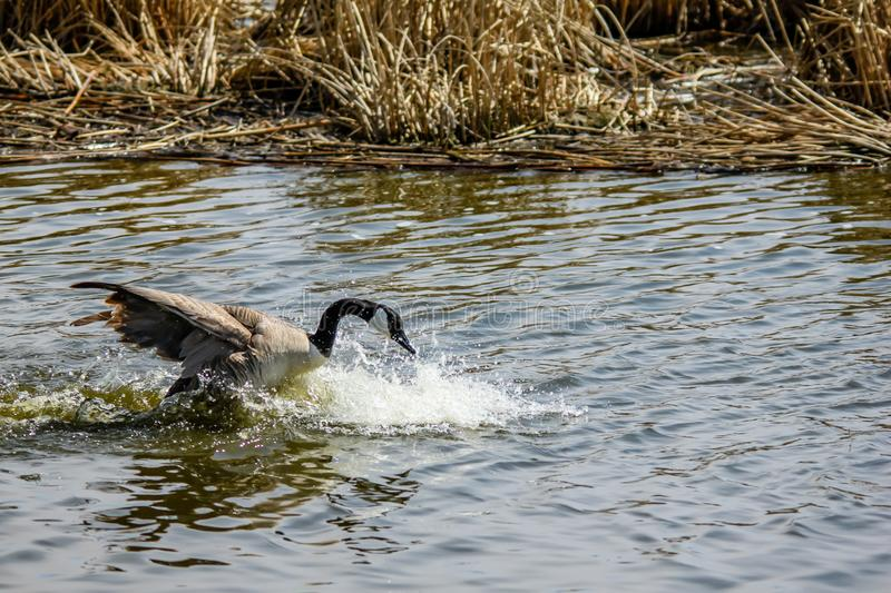 Canada Goose, Frank Lake, Alberta, Canada. Goose lands on the water and causes quite an amount of splashing royalty free stock photography