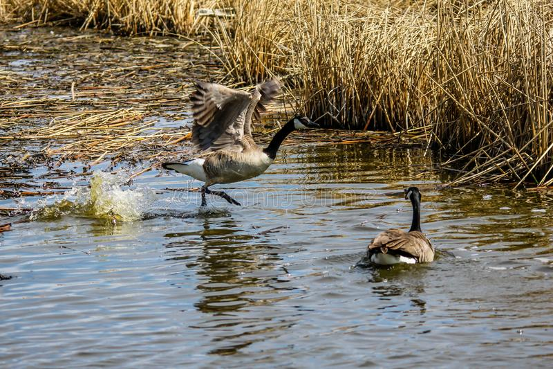 Canada Goose, Frank Lake, Alberta, Canada. Male goose chases away intruders from it`s female during nesting time stock photo