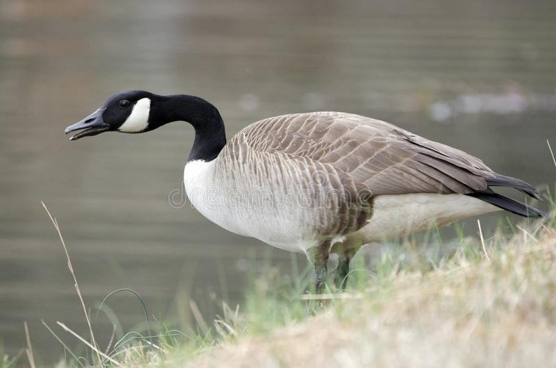 Canada Goose honking on guard on pond, Georgia, USA. Canada Goose gander or hen calling on water`s edge of small lake in rural Walton County, Georgia. The big stock photography