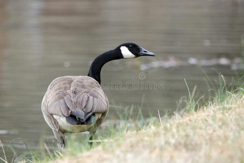 Canada Goose honking on guard on pond, Georgia, USA. Canada Goose gander or hen calling on water`s edge of small lake in rural Walton County, Georgia. The big stock images