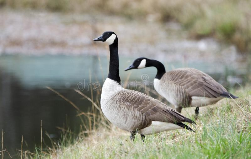 Pair Canada Geese, one on guard, one foraging, Georgia, USA. Canada Goose gander or hen calling on water`s edge of small lake in rural Walton County, Georgia royalty free stock images