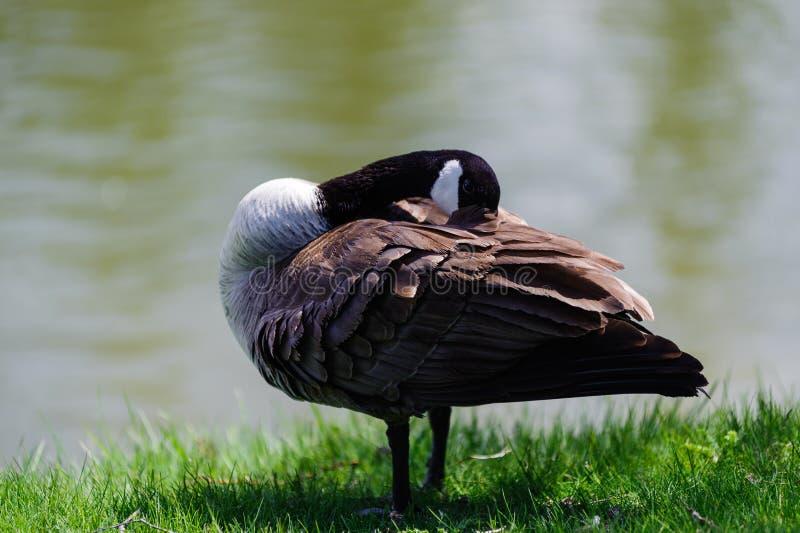 Canada Goose hiding its head stock photo