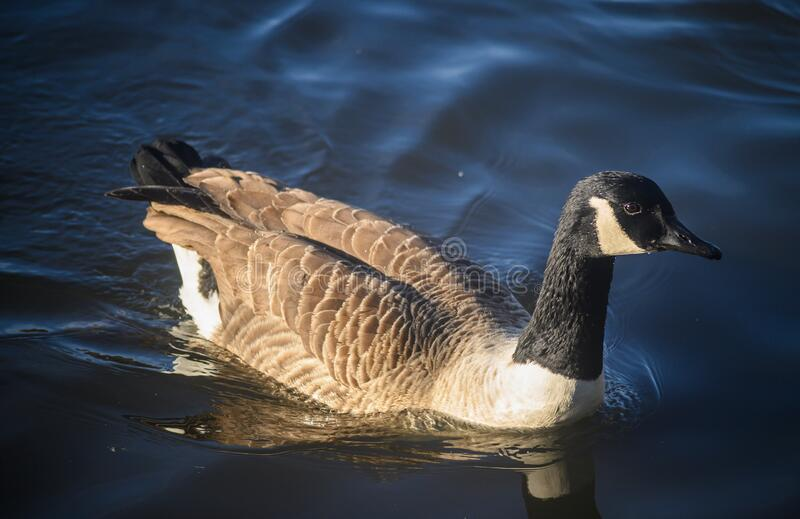 Canada goose swimming on the lake in Kelsey Park, Beckenham, Greater London. Canada goose in Kelsey Park, Beckenham, Greater London. A Canada goose swims on the royalty free stock photography