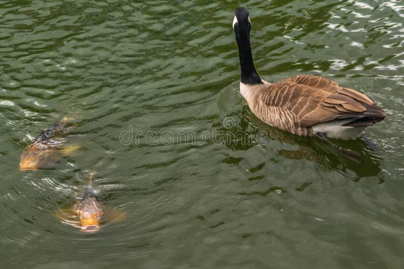 Canada goose and koi carp swimming on quiet brown water. UK stock image