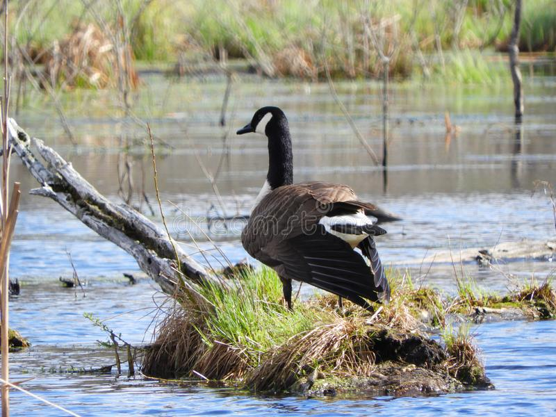 Canada Goose natural nesting area in swamp stock photos