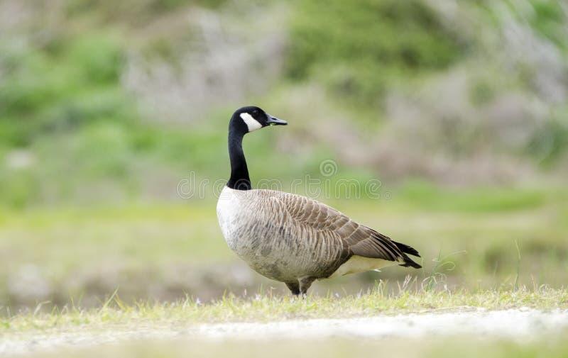 Canada Goose nest season, Walton County, GA stock images