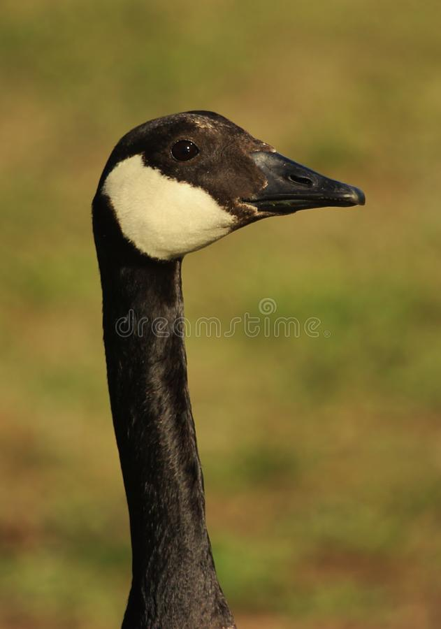 Canada Goose in New Zealand royalty free stock image