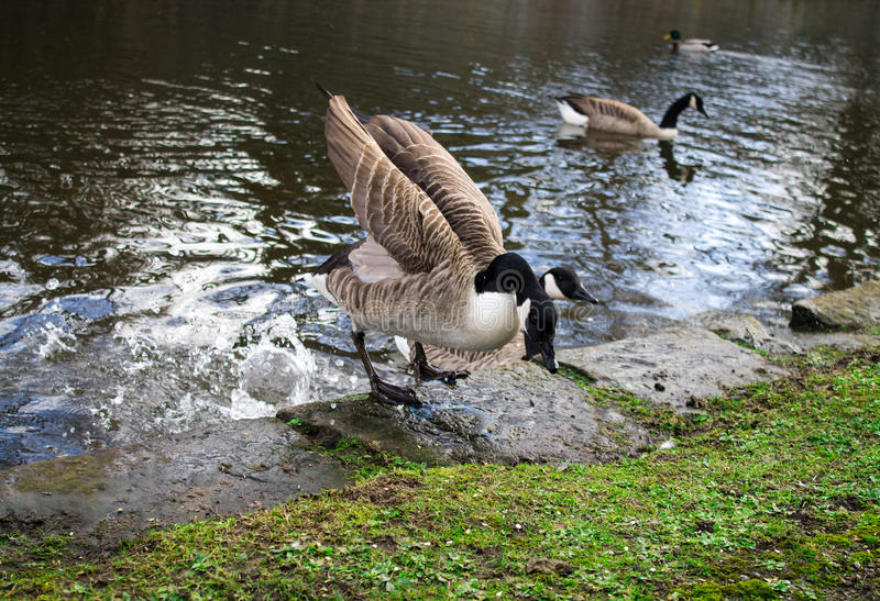 Canada Goose. One bird, flapping wings next to waters edge royalty free stock photo
