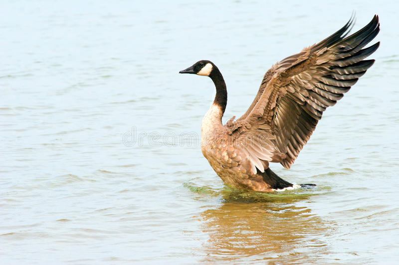 Canada Goose royalty free stock photo
