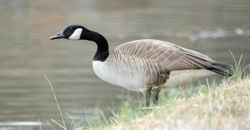 Canada Goose on pond, Georgia, USA. Canada Goose gander or hen on guard on small lake in rural Walton County, Georgia. The big, black-necked Canada Goose with royalty free stock photography