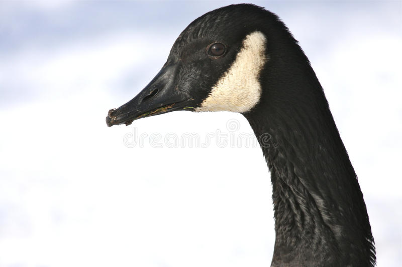 Download Canada Goose Portrait stock image. Image of background - 17878487