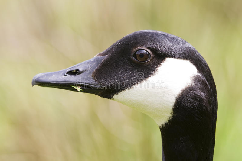 Canada Goose Side profile portrait stock photography
