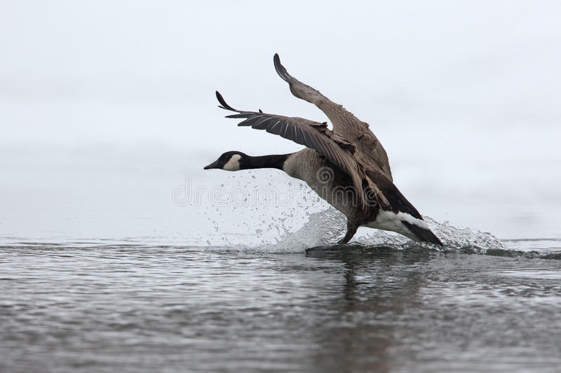 Canada Goose Splashing Down as it Lands in Winter stock images