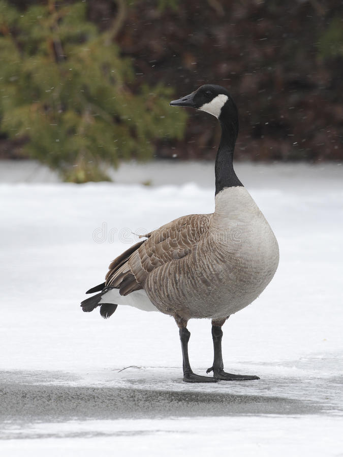Canada Goose Standing on Frozen River royalty free stock image