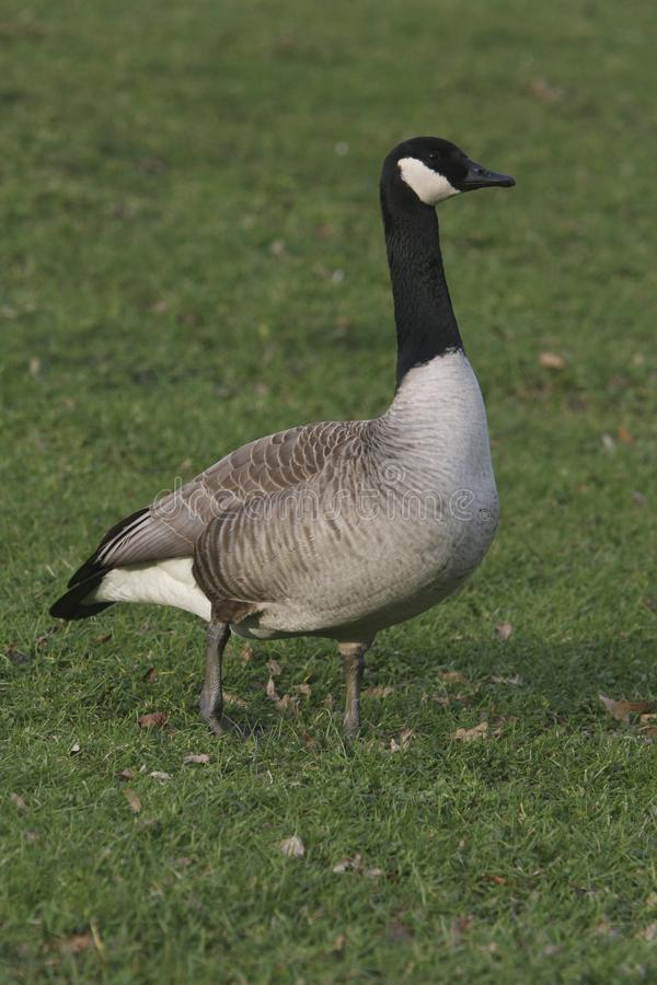 A Canada Goose standing in grass royalty free stock photography