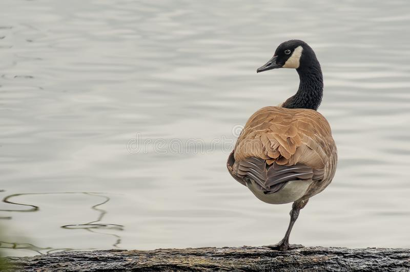 Canada Goose stands on a log on one leg stock photo
