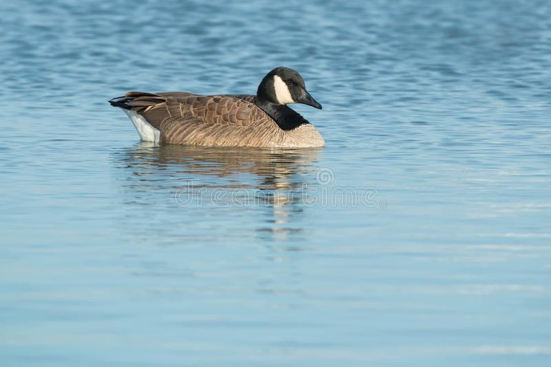Download Canada Goose stock photo. Image of avian, natural, canadensis - 104238444