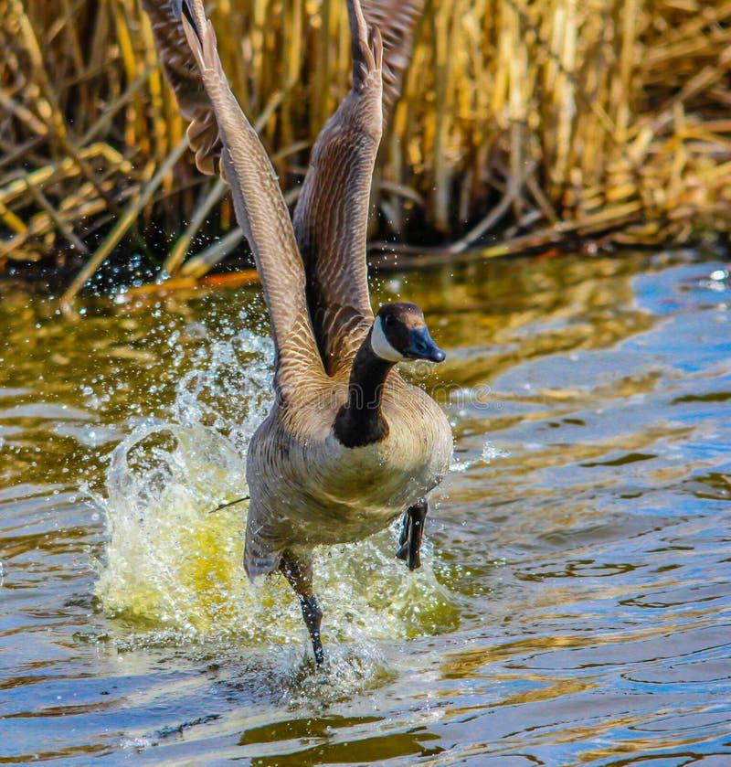 Canada Goose, Frank Lake, Alberta, Canada. Canada goose takes flight as it runs along the water stock image