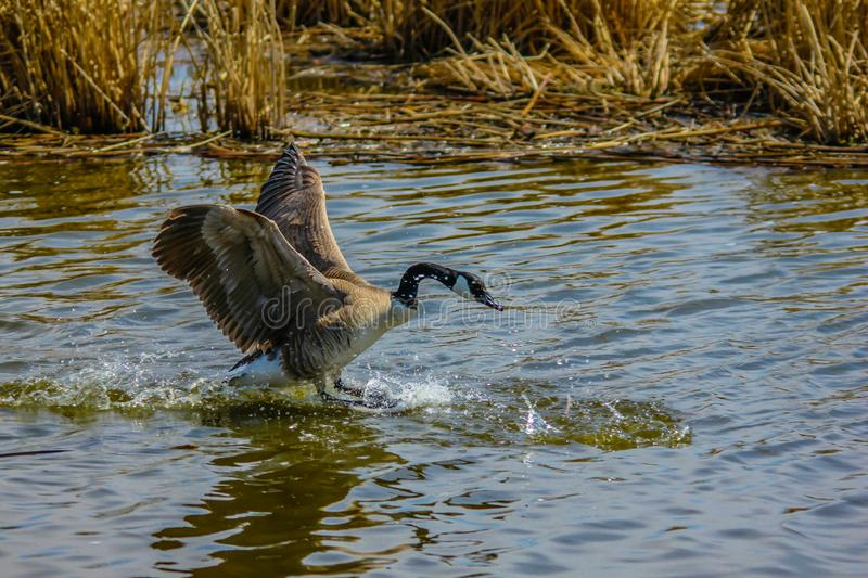 Canada goose takes flight, Frank Lake, Alberta, Canada. Canada goose comes in for a landing on the lake, Frank Lake, Alberta, Canada stock images
