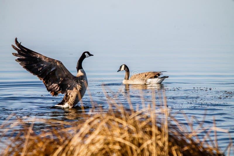 Canada goose takes flight, Frank Lake, Alberta, Canada. Canada goose shows his territory by flapping his wings, Frank Lake, Alberta, Canada stock photo