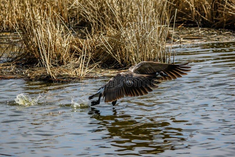 Canada goose takes flight, Frank Lake, Alberta, Canada. Canada goose takes flight while tracking a foe, Frank Lake, Alberta, Canada stock photos