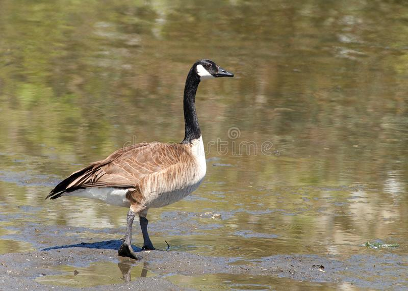 Canada goose walking into a lake. Canada goose walking towards a pond. Canada geese are able to establish breeding colonies in urban and cultivated areas, which royalty free stock photo