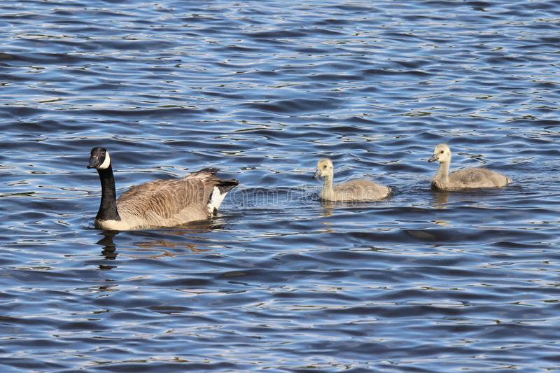 Canada Goose with Young royalty free stock image
