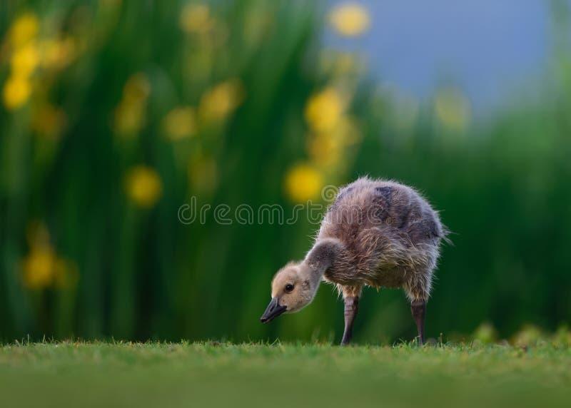 Canada Gosling avec Iris Flowers sauvage photographie stock