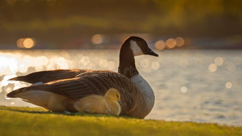 Canada Gosling avec l'oie de parent images stock