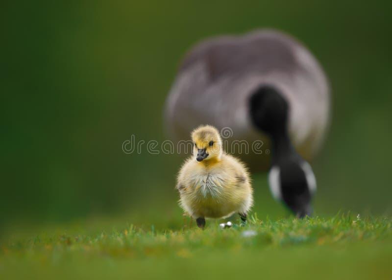 Canada Gosling et oie de parent sur l'herbe images libres de droits